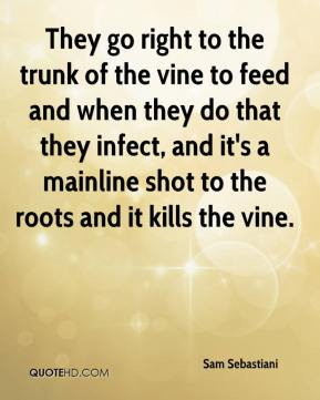 Sam Sebastiani  - They go right to the trunk of the vine to feed and when they do that they infect, and it's a mainline shot to the roots and it kills the vine.