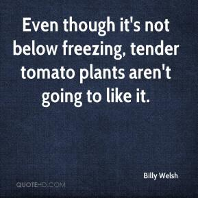 Billy Welsh - Even though it's not below freezing, tender tomato plants aren't going to like it.