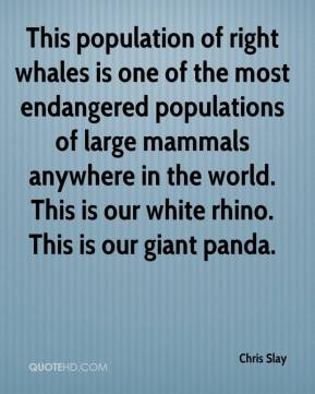 Chris Slay - This population of right whales is one of the most endangered populations of large mammals anywhere in the world. This is our white rhino. This is our giant panda.