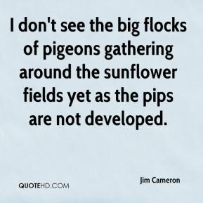 Jim Cameron  - I don't see the big flocks of pigeons gathering around the sunflower fields yet as the pips are not developed.