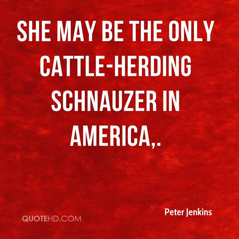 She may be the only cattle-herding schnauzer in America.